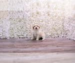 Small #2 Malchi-Poodle (Toy) Mix