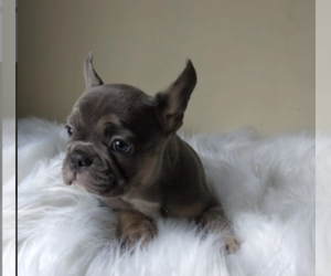 French Bulldog Dog for Adoption in PACIFIC PALISADES, California USA