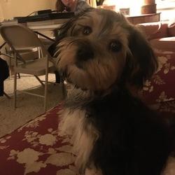 Morkie Puppy For Sale in DOWAGIAC, MI, USA