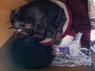 Doberman Pinscher Puppy For Sale in FOWLER, OH, USA