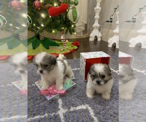 Mal-Shi Puppy for sale in ARLINGTON, TX, USA