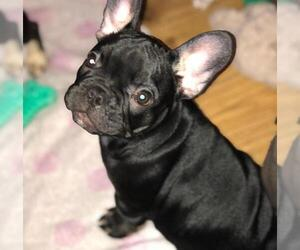 French Bulldog Puppy for sale in London, Greater London (England), United Kingdom