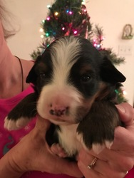 Bernese Mountain Dog Puppy For Sale in MAPLE GROVE, MN