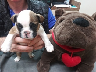Bulldog Puppy For Sale in PLANO, TX, USA