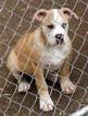 American Bulldog Puppy For Sale in OPELIKA, AL
