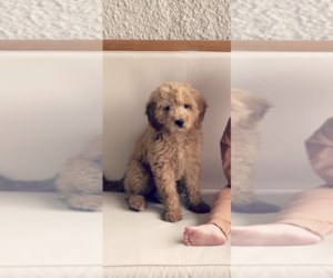 Goldendoodle Puppy for sale in ORLANDO, FL, USA