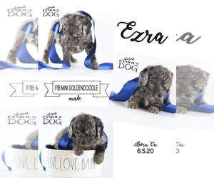 Goldendoodle Puppy for sale in SPRING BRANCH, TX, USA