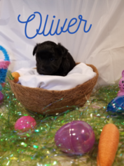 Morkie Puppy For Sale in MOBILE, AL, USA