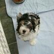 Small #2 Biewer Terrier