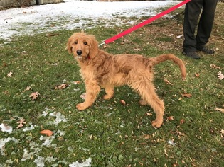 Goldendoodle Puppy for sale in EAST EARL, PA, USA