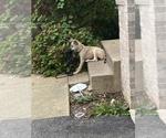Small American Mastiff