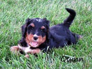 Bernedoodle Puppy For Sale in LOGANSPORT, IN, USA