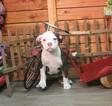 Olde Bulldog Puppy For Sale in MURRIETA, CA, USA