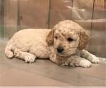 Puppy 0 Goldendoodle (Miniature)
