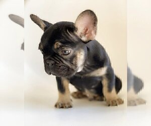 French Bulldog Puppy for sale in CHICAGO, IL, USA