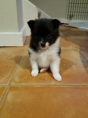 Pomeranian Puppy For Sale near 30633, Danielsville, GA, USA