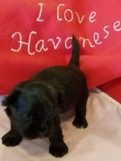 Havanese Puppy For Sale in MONTGOMERY, TX, USA