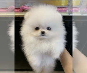Pomeranian Puppy for sale in LONG ISLAND CITY, NY, USA