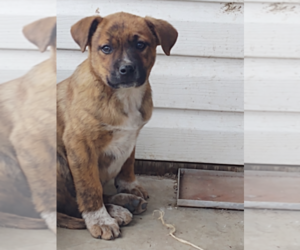 Australian Cattle Dog Puppy for sale in EAU CLAIRE, WI, USA