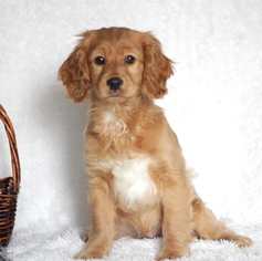 Cocker Spaniel-Poodle (Miniature) Mix Puppy For Sale in GAP, PA