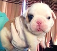 Puppy 4 Bulldog