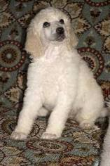 Poodle (Standard) Puppy For Sale in LAKE SAINT LOUIS, MO, USA