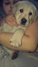 Sheprador Puppy For Sale in BOSCAWEN, NH