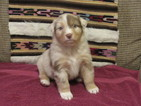 Australian Shepherd Puppy For Sale in SALINA, OK, USA