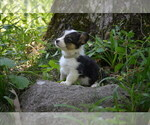 Small Photo #8 Pembroke Welsh Corgi Puppy For Sale in TUPELO, MS, USA