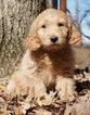 Puppy 2 Golden Retriever-Poodle (Toy) Mix