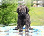 Small #34 Goldendoodle