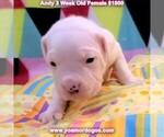 Small #25 Dogo Argentino