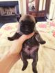 French Bulldog Puppy For Sale in FOLSOM, Louisiana,