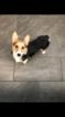 Pembroke Welsh Corgi Puppy For Sale in HARTSDALE, NY, USA
