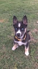 View Ad Alaskan Husky German Shepherd Dog Mix Puppy For Sale Near