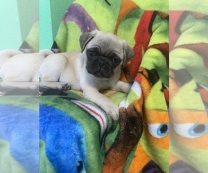 Pug Puppy for sale in HESPERIA, CA, USA