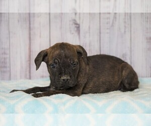 Cane Corso Puppy for sale in FREDERICKSBG, OH, USA