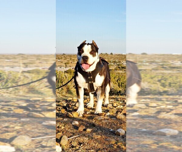 Medium Photo #7 American Bully Puppy For Sale in PALMDALE, CA, USA