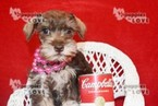 Schnauzer (Miniature) Puppy For Sale in SANGER, TX,