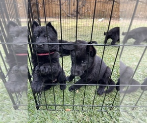 German Shepherd Dog Puppy for sale in PASADENA, CA, USA