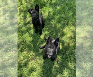 German Shepherd Dog Puppy for sale in MANSFIELD, MO, USA