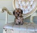 Morkie Puppy For Sale in LOS ANGELES, CA