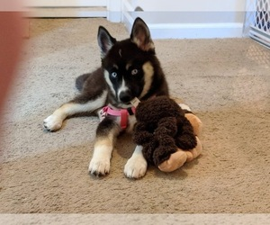 Pomsky Dog for Adoption in ASHLAND, Missouri USA