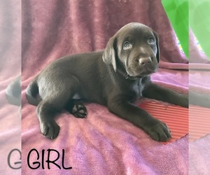 Labrador Retriever Puppy for Sale in ORLANDO, Florida USA