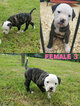 American Bulldog Puppy For Sale in FRUITVALE, TX
