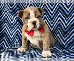 English Bulldog Puppy for sale in LANCASTER, PA, USA