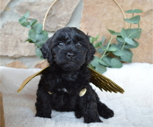Shih-Poo Puppy for sale in HONEY BROOK, PA, USA