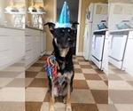 Small #4 German Shepherd Dog-Labrador Retriever Mix
