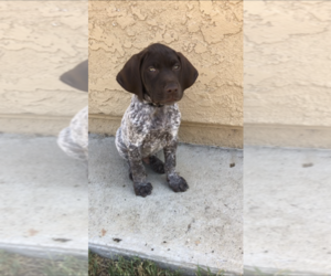 German Shorthaired Pointer Puppy for Sale in CORONA, California USA