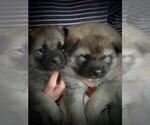 Small #6 Norwegian Elkhound